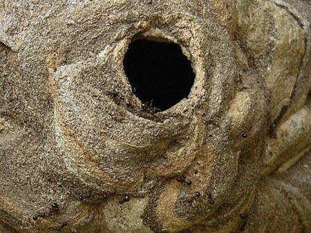 ハチの巣と蟻.jpg