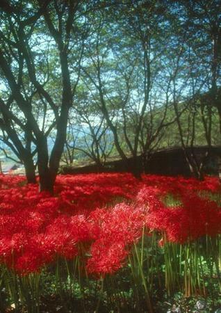 赤い彼岸花2.jpg