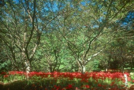 赤い彼岸花3.jpg