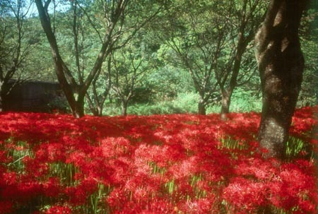 赤い彼岸花1.jpg